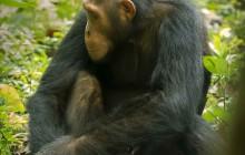 lr chimp 3 Uganda 2016