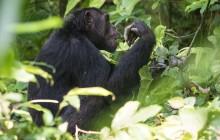lr chimp 5 Uganda 2016-18