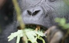 lr eating gorilla Uganda 2016-53