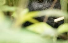 lr gorilla in bush Uganda 2016-51
