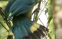 lr great blue turaco Uganda 2016-59