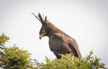 lr long crested eagle Uganda 2016