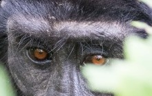 lr mountain gorila Uganda 2016-38